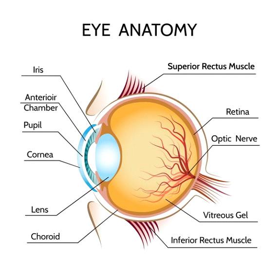 Eye Anatony - Eyes & Aging - 360 Eyecare
